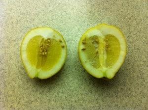Ponderosa Lemon halved